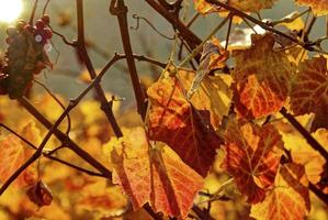 höst i vingården foto
