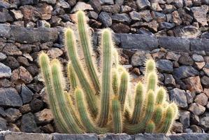 bakgrundsbelyst kaktus foto