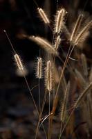 gräsblomma på morgonen foto