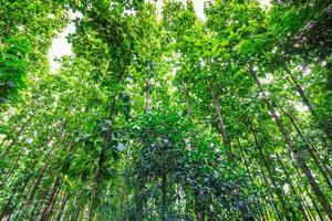 teakskogar i norra Thailand foto