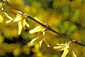 forsythia blommar i bakgrundsbelysning foto
