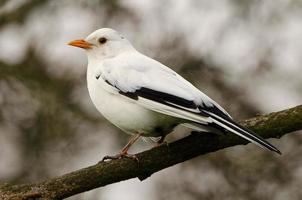 leucistisk svartfågel foto
