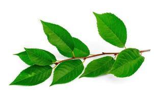 gren med gröna blad av alm foto