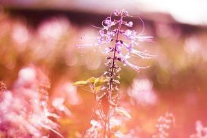 bakgrundsbelyst lila kumis kucing