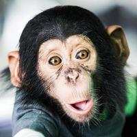 schimpans baby foto