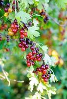 jostaberryen (lat. ribben x nidigrolaria) är korsfruktbusken foto