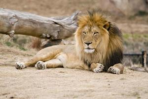 afrikansk svart manad lejon foto