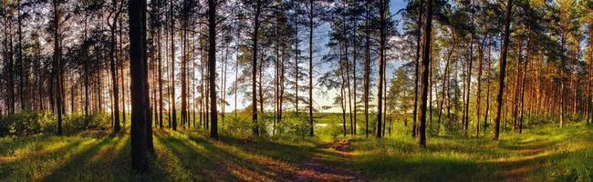 solig skog foto