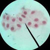 levande friska celler (mitos) foto