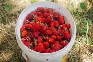 jordgubbar i en dekorativ hink foto