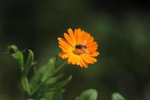 bi på de orange blommorna foto