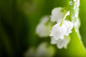lily-of-the-valley och vattendroppar
