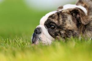 närbild av renrasig bulldogg foto