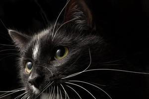svart katt ansikte 001 foto