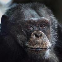 vanlig schimpans (pan troglodytes) foto