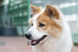 närbild söta thai bang kaew hund ansikte foto