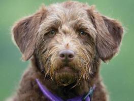 brun hund på gräsmattan foto