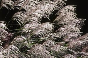 japanskt pampasgräs foto