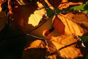 höstlöv i bakgrundsbelysning