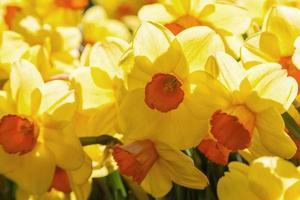 gula påskliljor