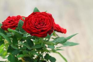 vilda röda rosor med kopieringsutrymme foto