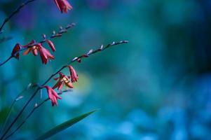 krokosmia (montbretia) blommor på blomsterbädd med kopieringsutrymme foto