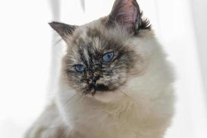närbild av birman katt stirrar vit kopia utrymme vänster sida. foto