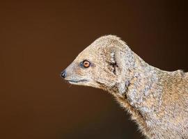 dvärg mongoose foto