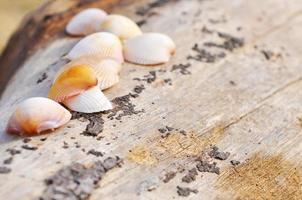 skal mussla på träet på stranden foto