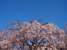 under den blå himlen, gråtande körsbärsträd foto