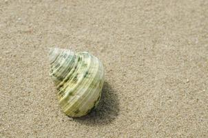 strand, kammussla foto