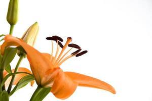 lilja med kopiautrymme, orange. foto