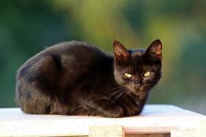 svart katt foto