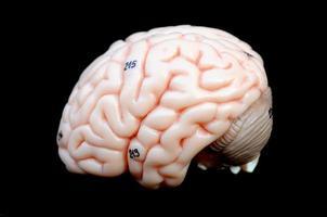 mänsklig hjärna foto