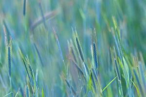 ung korn på nära håll foto