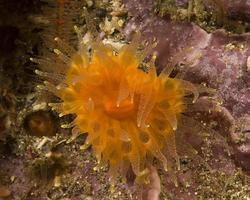 orange anemon närbild foto
