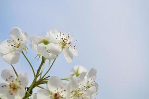 päron blommar närbild foto