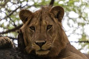 bedårande lejon på nära håll foto