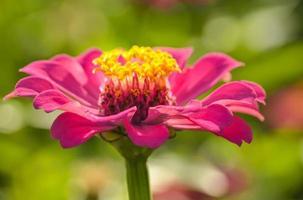 närbild zinnia blomma foto