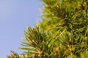 vintergröna nålar närbild foto
