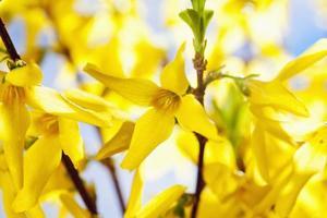 gul forsythia, närbild foto