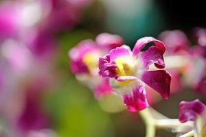 lila orkidé närbild foto