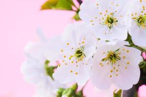 körsbärsblomning, närbild foto