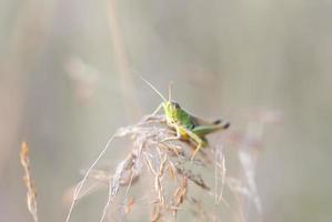 grön gräshoppa på nära håll foto