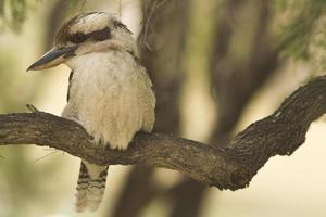 australiska kookaburra. foto