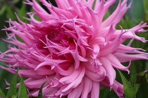 rosa blomma på nära håll