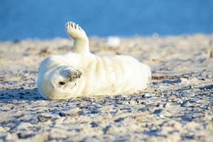 baby grå tätning (halichoerus grypus) avkopplande på stranden foto