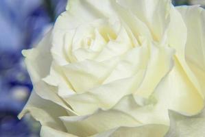 vit ros på nära håll