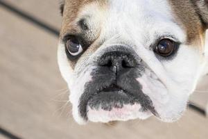 engelska bulldogg på nära håll foto
