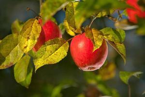 äppelträd på nära håll foto